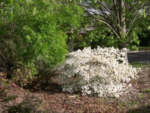 Crazy white azalea